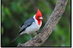 cardenal_25149335050_o