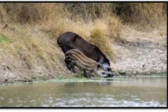 tapir_25351992651_o